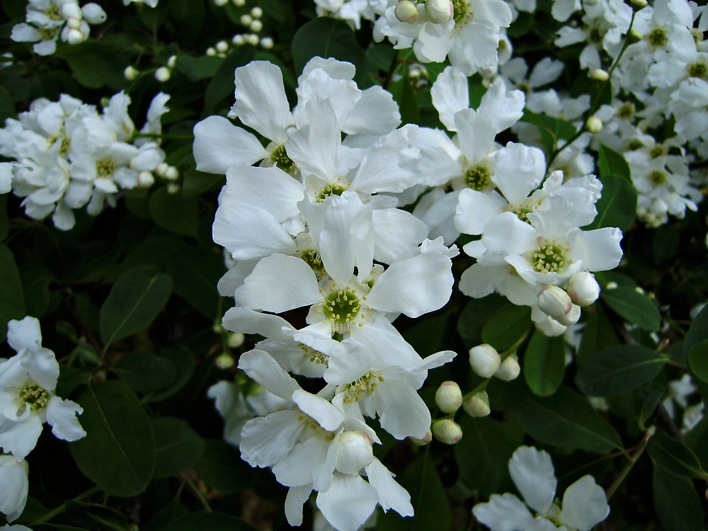 Hroznovec hroznatý  (Exochorda grandiflora)