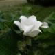 Magnólie velkolistá (Magnolia macrophylla)